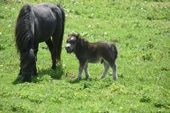 Grazing Mini Mare and Colt in Early Spring. Sweet grazing mini mare and colt in early spring Stock Photo