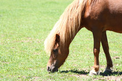 Grazing miniature horse. In field Stock Image