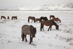 Grazing Mongol horses in the snow Stock Image