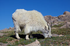 Grazing Mountain Goat. A mountain goat grazing in the high alpine Stock Photos