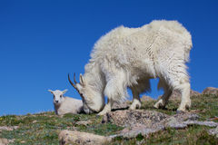 Grazing Mountain Goat with KID. A mountain goat nanny and her kid grazing in the high alpine Stock Images