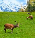 Grazing mountain goats Royalty Free Stock Image