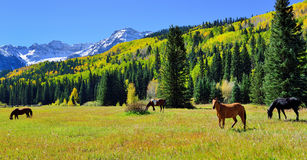 Grazing mustang in the alpine scenery by snow covered mountains and yellow aspen during foliage season Royalty Free Stock Photos
