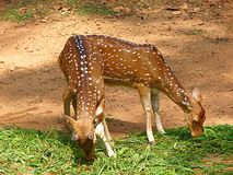 Grazing Pair of Juvenile Spotted Deer Stock Images