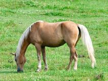 A Grazing Palomino. This is a Summer picture of a Palomino grazing in a pasture in Dopr County, Wisconsin. This picture was taken on August 11, 2018 stock images