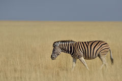 Grazing on the pan. Zebra grazing the grass plains in Etosha National Park in Namibia Stock Photo
