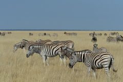 Grazing on the pan. Zebra grazing the grass plains in Etosha National Park in Namibia Royalty Free Stock Image