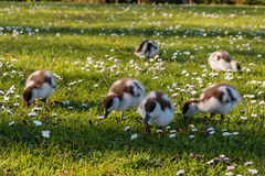 Grazing paradise shelduck ducklings Royalty Free Stock Image