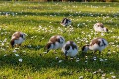 Grazing paradise shelduck ducklings Royalty Free Stock Image