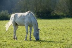 Grazing on the pasture. White horse is grazing in the morning sun Royalty Free Stock Images