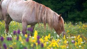 Grazing in peace. Wild horse peacefully grazing the herbs and flowers of a mountain meadow in spring