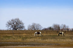 Grazing Pinto Horses in Winter Royalty Free Stock Images