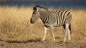 Grazing plains zebra stock video footage