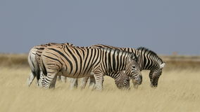 Grazing plains zebras stock video footage
