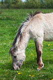 Grazing Polish primitive horse Royalty Free Stock Photo