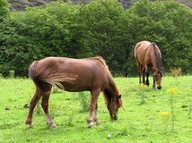 Grazing Ponies. Ponies grazing in a field Royalty Free Stock Photos