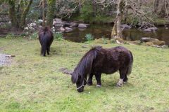Grazing Ponies Royalty Free Stock Photography