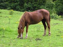 Grazing Pony. A pony grazing in a field Royalty Free Stock Photos