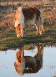 Grazing Pony. Shetland-type pony grazing on heathland in evening light, Outer Hebrides, Scotland Stock Image