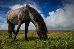 Grazing Pony Stock Image