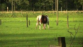 Grazing Pony stock video