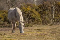 Grazing pony in the New Forest stock images