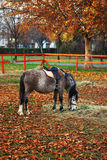 Grazing pony in the park. Late autumn Stock Photos
