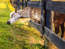 Grazing pony Royalty Free Stock Images