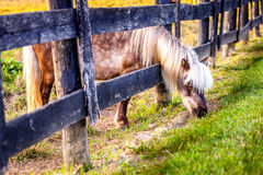 Grazing pony Royalty Free Stock Photography