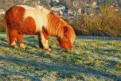 Grazing pony Stock Photos