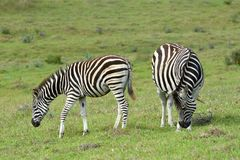 Grazing pregnant Zebra with foal Royalty Free Stock Images