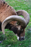 Grazing ram Royalty Free Stock Photos