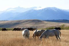 Grazing Ranch Herd. Ranch horses grazing on a Montana ranch in the late autumn sunshine. The Absaroka-Beartooth Mountains are in the background Stock Image