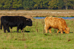 Grazing Red and Black Highland cattle Royalty Free Stock Image