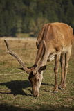 Grazing red deer stag Stock Photos