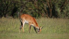 Grazing red lechwe antelope stock video footage