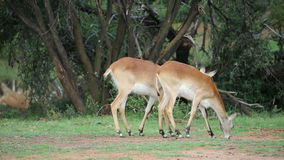 Grazing red lechwe antelopes stock video