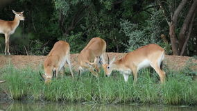 Grazing red lechwe antelopes stock video footage