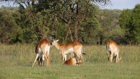 Grazing red lechwe antelopes stock video