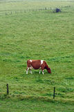 Grazing Red and White Cow Royalty Free Stock Image