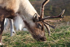 Grazing Reindeer Stock Images