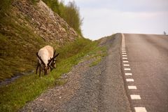Grazing reindeer on side of road near Norway - Sweden borders royalty free stock images