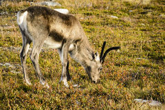 Grazing reindeer, Sweden Stock Photo