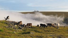 Grazing reindeers in Nordkapp Royalty Free Stock Photos