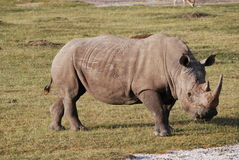 Grazing Rhino Royalty Free Stock Photography