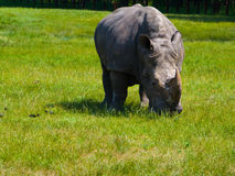 Grazing Rhino. A large gray Rhino grazing on grass Stock Images