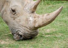 Grazing rhino royalty free stock photos