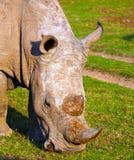 Grazing rhino Royalty Free Stock Image