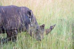 Grazing rhinoceros Royalty Free Stock Photo