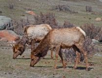 Free Grazing Rocky Mountain Elk Royalty Free Stock Photography - 12326997